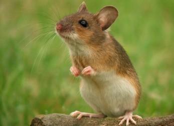Fakta om mus - Sønderjysk Skadedyrsbekæmpelse
